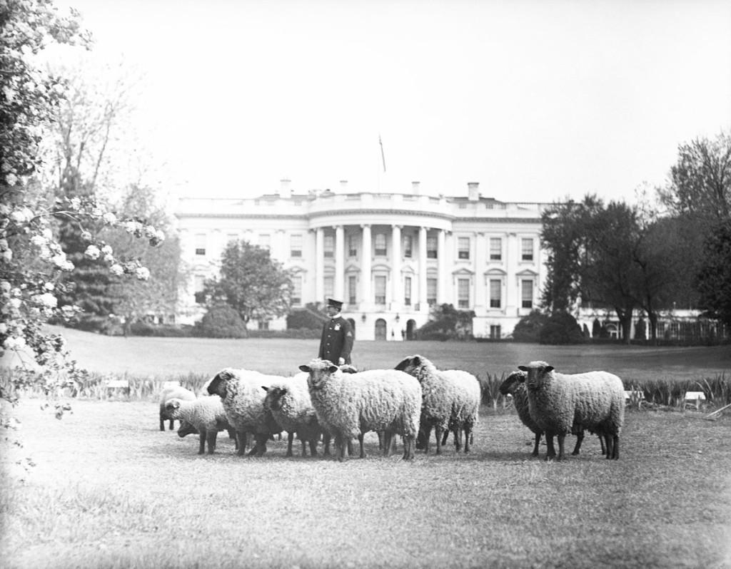 Ovelhas pastando no gramado sul da Casa Branca em 1918.